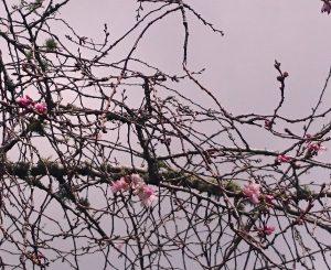 桜の花~27 09 2016